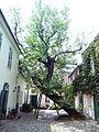 Maulbeerbaum.jpg