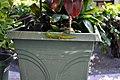 Mauritius lowland forest day gecko (Phelsuma laticauda) (4323455433).jpg
