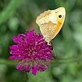 Meadow brown (35270991374).jpg