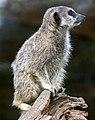 Meerkat 2 (4996464202).jpg