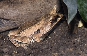 Long-nosed horned frog - Image: Megophrys.nasuta.703 4