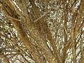 Melaleuca huttensis (bark).JPG