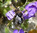 Melecta albifrons. Common Mourning Bee - Flickr - gailhampshire (5).jpg