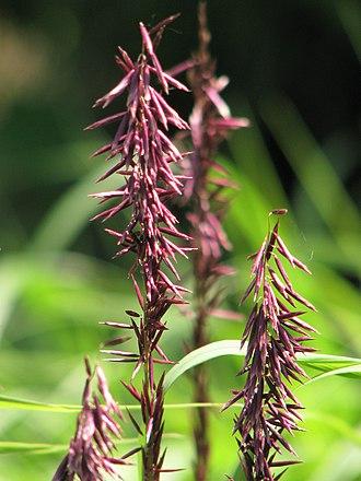 Melica - Melica altissima 'Atropurpurea' cultivar