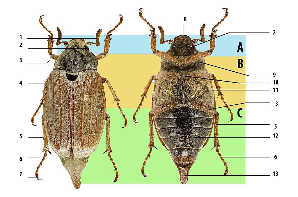 Beetle body structure, using cockchafer. A: head, B: thorax, C: abdomen. 1: antenna, 2: compound eye, 3: femur, 4: elytron (wing cover), 5: tibia, 6: tarsus, 7: claws, 8: mouthparts, 9: prothorax, 10: mesothorax, 11: metathorax, 12: abdominal sternites, 13: pygidium.