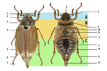 Самые большие жуки на земле древнегречиские