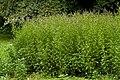 Mentha piperita - Flickr - aspidoscelis.jpg