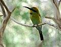 Merops ornatus -Alice Springs Desert Park, Northern Territory, Australia-8a (1).jpg