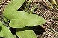 Mertensia oblongifolia 9512.JPG