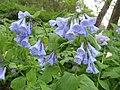 Mertensia virginica (Flower).jpg