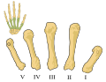 Metacarpals numbered-en.svg