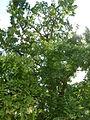 Metasequoia glyptostroboides-Jardin des Plantes 02.JPG