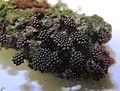 Metatrichia vesparium (Batsch) Nann.-Bremek. ex G.W. Martin & Alexop 336131.jpg