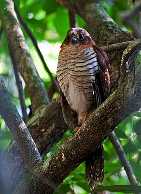 Falco sparviero (Micrastur ruficollis), morph brunastro, cantando? / I