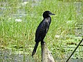 Microcarbo niger, little cormorant.jpg