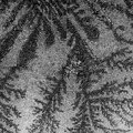 Microscopic trees made by phosphate cristals, image consist of 2x2 fields of view 6.tif