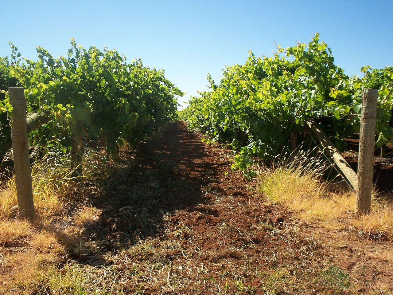 Mildura as a source of Australia's dried vine fruits