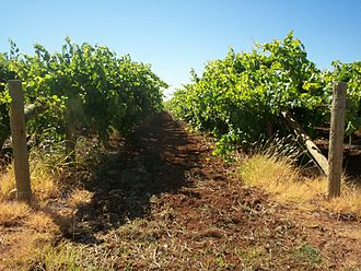 Mildura - Grape vines growing in Mildura during December 2006.