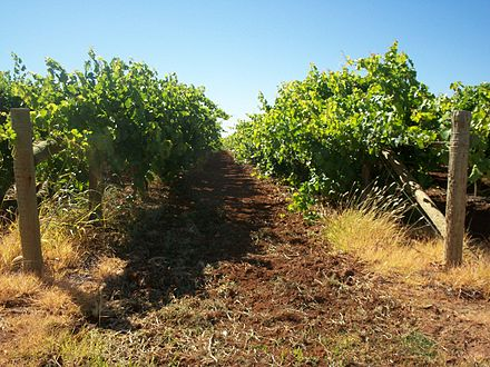 Grape vines in Mildura, Victoria during December 2006. Mildura vines.jpg