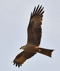 Milvus migrans 2005-new.jpg