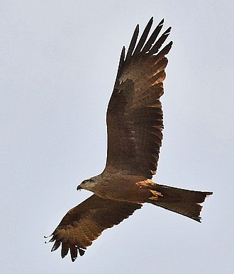 Kite (bird) - Black kite