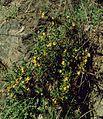 Mimulus aurantiacus 2.jpg