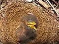 Mimus polyglottos three days old 05.jpg