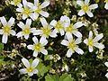 Minuartia arctica var. hondoensis (flower).JPG