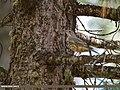 Mistle Thrush (Turdus viscivorus) (37095078983).jpg