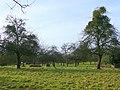 Mistletoe-laden old fruit trees - geograph.org.uk - 1133163.jpg