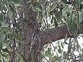 Mistletoe in Kurrajong P6090075.jpg