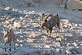 Mitzpe Ramon Alpha Ibex at Mitzpe Ramon (15267192277).jpg
