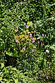 Mixed border at Nuthurst, West Sussex, England 1.jpg