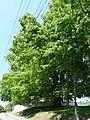 Mlýny, památný strom 01.jpg
