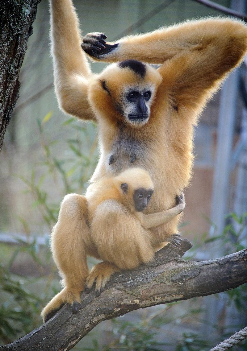 Mom + Baby Gibbon (6703318233).jpg