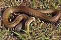 Montpellier Snake (Malpolon monspessulanus) male (36270779232).jpg