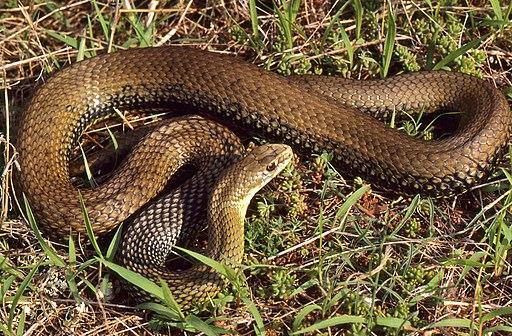 Montpellier Snake (Malpolon monspessulanus) male (36270779232)