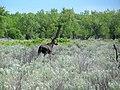 Moose Sighting At Dinosaur Provincial Park.jpg
