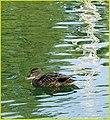 Morning Swim, Ford Park 1-12-14a (12226380245).jpg