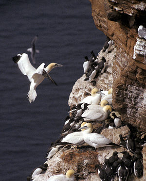 Northern Gannet on <span class=