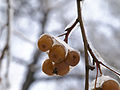 Moscow, ice apples 04.jpg
