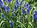 Muscari armeniacum clump.jpg