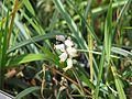 Muscari muscarimi - Flickr - peganum (1).jpg