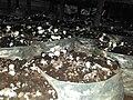Mushroom cultivation.jpg