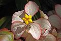 Mussaenda erythrophylla flower.jpg