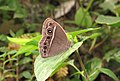 Mycalesis mineus – Dark-branded Bushbrown 09.jpg