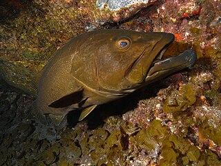 <i>Mycteroperca</i> genus of fishes