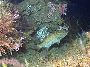 Scamp grouper - Image: Mycteroperca phenax