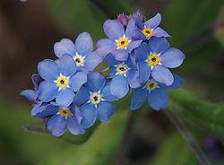 MYOSOTIS 'INDIGO BLUE' SEEDS (Forget-me-nots, Myosotis sylvatica ...