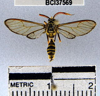 <i>Pseudosphex</i> genus of insects
